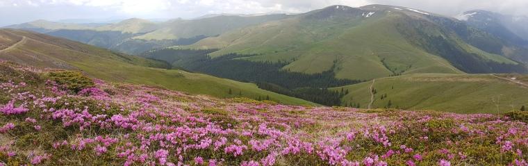 bujor de munte prin peisaj cu zapada