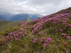 muntele Malita acoperit de bujor de munte