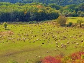 oile pe pasune la Cabana dintre Vii