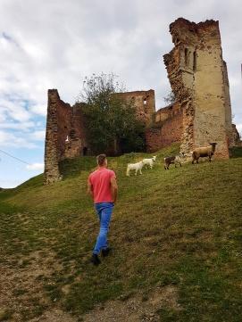 caprele si oile de la Cetatea Slimnic