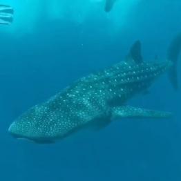 cel mai mare rechin, rechinul balena il poti intalni in Maldive