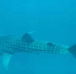 coada rechinului balena