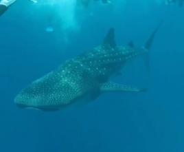 experiente in Maldive inot cu rechinul balena
