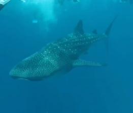 experiente unice in Malive inot cu rechinul balena