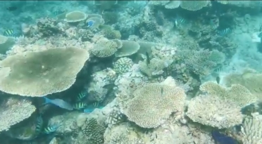 fascinating table corals in Maldives