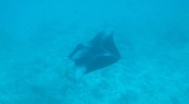 great experience in Maldives swimming wiht Manta Rays