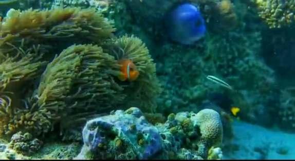pestele clovn Nemo