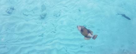 pesti in Maldive