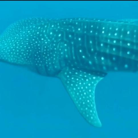 rechinul balena in Oceanul Indian Maldive