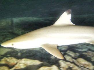 rechinul de recif