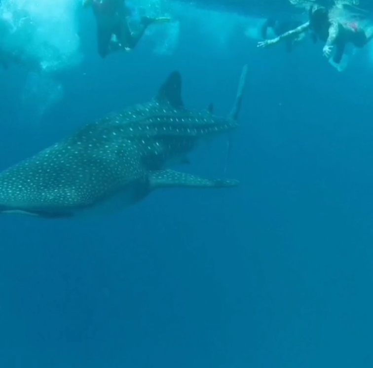 swimming after whale shark in Maldives