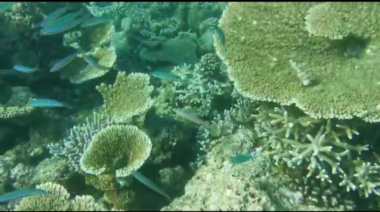 table corals fascinating underwater world in Maldives
