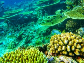 table corals Maldives (3)