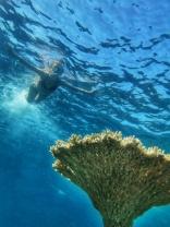table corals Maldives (4)
