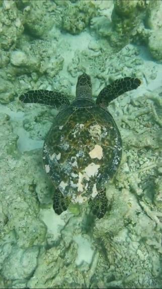 top experiente in Maldive inot cu broastele testoase