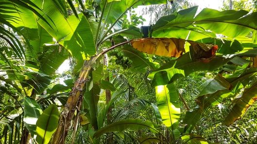 bananieri Maldive