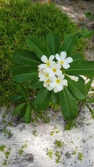 flori tiare Maldive