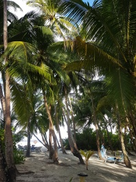 plamtrees in Maldives